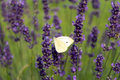 White butterfly on lavender flowers Royalty Free Stock Photo