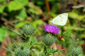 White butterfly sitting on thistle flower and flying wasp Royalty Free Stock Photo