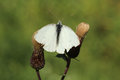 White butterfly with the spread wings on two thistles this s common name is green veined scientific name is Stock Photo
