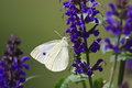 White butterfly sulphur feeding on blue salvia flowers Stock Photos