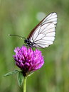 White butterfly on trifolium pratense on green bacjground Royalty Free Stock Image