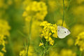 White butterfly in a yellow field Royalty Free Stock Photo