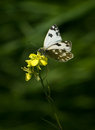 White butterfly and yellow flower a mustard Stock Photos