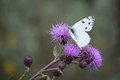 White Cabbage Butterfly On Thistle Blooms Royalty Free Stock Photo