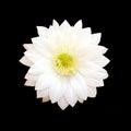 White Cactus Flower Isolated O...