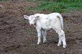 White calf young in a farm in romania Royalty Free Stock Images