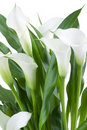 White Calla Royalty Free Stock Images