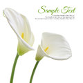 White calla lilies beautiful isolated on background Royalty Free Stock Photography