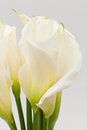 White calla lily Stock Photos