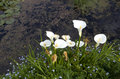 White calla lily flowers in pond Royalty Free Stock Photo