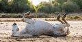 White Camargue horse lying on his back on the ground. Parc Regional de Camargue. France. Provence. Royalty Free Stock Photo