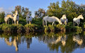 White Camargue Horses Royalty Free Stock Photo