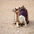 White camel Stock Photos