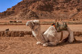 White camel in the desert of jordan wadi rum Stock Photography