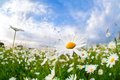 White camomile flower over blue sky Royalty Free Stock Photo