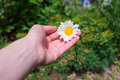 White Camomile in the woman hand Royalty Free Stock Photo