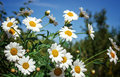 White camomiles on blue sky background Royalty Free Stock Photo