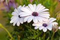White Cape daisy (Osteospermum) with purple center Royalty Free Stock Photo