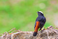 White-capped Water Redstart Stock Photo