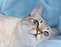 White cat with aquamarine eyes on a blue background Royalty Free Stock Photo