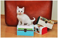 White cat beautiful playing with some wooden boxes Royalty Free Stock Photos