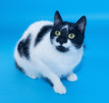 White cat with black spots sitting staring on blue background Stock Image