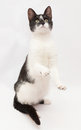 White cat with black spots and yellow eyes standing on its hind Royalty Free Stock Photography