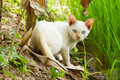 White cat and blue eyes Royalty Free Stock Photo