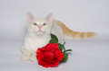 White cat with blue eyes studio portrait of and red rose Royalty Free Stock Image