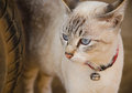 White cat with blue eyes,Thai cat Royalty Free Stock Photography
