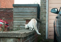 A white cat on brick wall ready to pounce