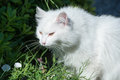 White cat in bushes Royalty Free Stock Photo