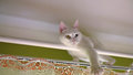 White cat on curtain rod odd eyed Royalty Free Stock Photos