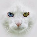 White cat different eyes with colored unusual Royalty Free Stock Photo