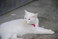 White Cat Eye Color Yellow and blue Royalty Free Stock Photo
