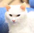 The white cat home with big mustache Royalty Free Stock Image