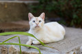 White cat lounging outdoors a close up of an adult siamese mix outside Royalty Free Stock Photos
