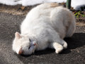 White cat lying on the road and fondled Stock Photo