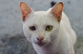 White cat with one blind eye