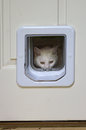White cat peeking through pet door a peeksing out the window of a Stock Photography
