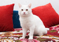 White cat sitting on a colorful bedspread surrounded by red pillows Royalty Free Stock Photos