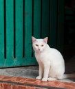 White cat sitting on doorstep at the entrance to the house Royalty Free Stock Images