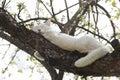 White cat sleep on the tree Royalty Free Stock Photo