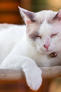 White cat sleeping thai on wooden chair Stock Images