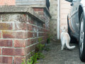 A white cat about to jump up onto a low brick wall