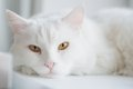 White cat the tomcat of species turkish angora by the closeup Royalty Free Stock Photo