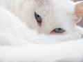 Blanco gato