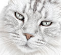 White cat whiskers closeup of a face and Royalty Free Stock Photo