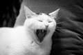 White cat yawning Royalty Free Stock Photo