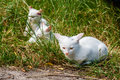 White cats sit in the green grass on a summer day